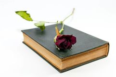 Dry red rose on old Holy Bible. On white background Royalty Free Stock Image