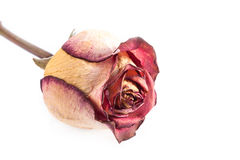 Dry red rose. Stock Photos