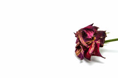 Dry red rose on white background stock image