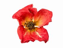 Dry red rose on a white background. Dry red rose onwhite background Royalty Free Stock Photo