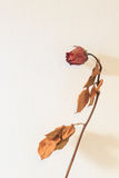 Dry red rose on the white wall Royalty Free Stock Photo