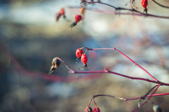 Dry red rosehip in early spring Royalty Free Stock Image