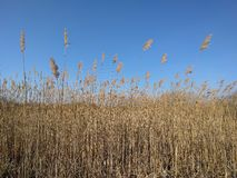 Dry reed army marching on blue. Winter marshland with reeds on a clear day Stock Images