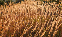 Dry reed Stock Image