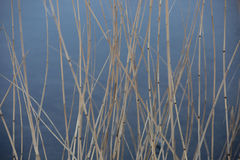 The dry reed on a background of water stock photography