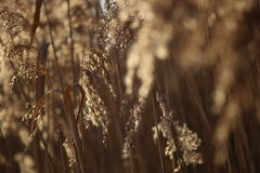 Dry reed background in winter. Royalty Free Stock Photos