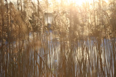 Dry reed background in winter. Royalty Free Stock Photo