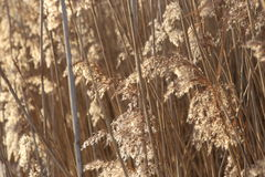 Dry reed background in winter. Stock Image