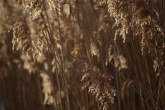 Dry reed background in winter. Stock Photo