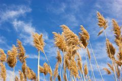 Dry reed - cane Stock Photo