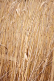Dry reed, cane. Stock Photos