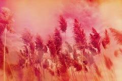 Dry reed - cane Stock Image