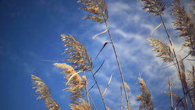 Dry reed grass on a sunny autumn day stock video