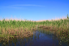dry reed in marsh Stock Image