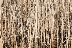 Dry reed plants Stock Photo