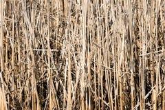 Dry reed plants Stock Photo