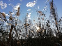 Dry reed shines in the winter sun royalty free stock images
