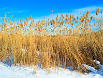 Dry reed on snow. Against the blue sky Stock Photo