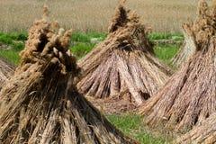 Dry reed Royalty Free Stock Photos