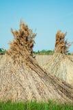 Dry reed Stock Photos