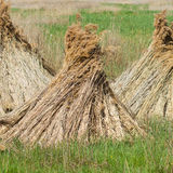 Dry reed Stock Images