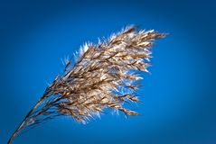 Dry Reed Stem Royalty Free Stock Photo