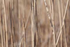 Dry reed stems royalty free stock photo