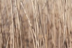 Dry reed stems royalty free stock photos