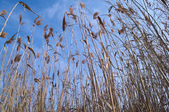 Dry reed at swamp Royalty Free Stock Image
