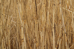 Dry reed thickets background Stock Images