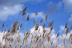 Dry reed whisks against blue sky and white clouds background. Reeds sway in wind Royalty Free Stock Photo