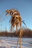 Dry reed in the winter Royalty Free Stock Photography