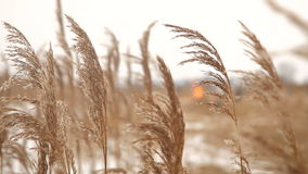 Dry reed by the winter riverside stock footage