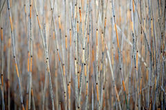 Dry reeds Royalty Free Stock Photography