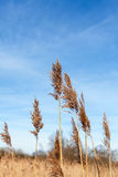 Dry reeds against blue sky. Stock Image