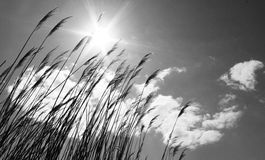 Free Dry Reeds Against The Sky With Clouds And Sun, Black And White Photo Stock Photos - 69411473