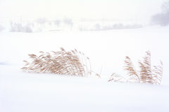 Dry reeds against  wind and snow on winter scene. Stock Image