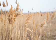 Dry reeds in auturmn Stock Photos