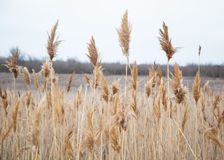 Dry reeds in auturmn. Autumn reeds on the coast lake Royalty Free Stock Image