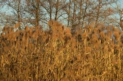 Dry reeds Stock Photography