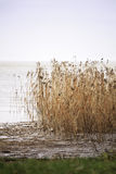 Dry reeds by The Baltic shore Royalty Free Stock Photography