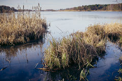 Dry reeds on the bank of the lake. Royalty Free Stock Image