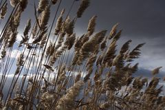 Reeds, bulrush, against cloudy sky. Autumn landscape Royalty Free Stock Images