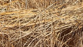 Dry reeds and cattails, waiting for the renewal of Spring. royalty free stock photos