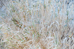 Dry reeds covered with hoarfrost Stock Photo