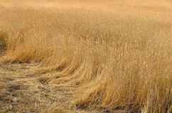 Dry reeds in the field. Stock Photo