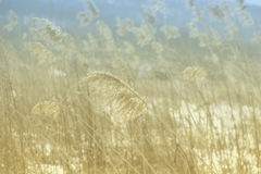 Dry reeds field, soft focus, natural background Royalty Free Stock Image