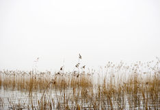 Dry reeds on foggy winter day Stock Photos