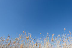 Dry reeds and grass against a blue sky Stock Photos