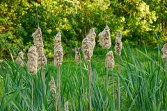 Dry reeds in green thickets on the shore of the swamp Royalty Free Stock Photo